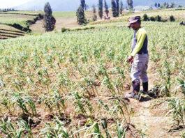 CEK. salah satu petani bawang putih di Kecamatan Kledung sedang mengecek tanaman bawang putih di lahannya.