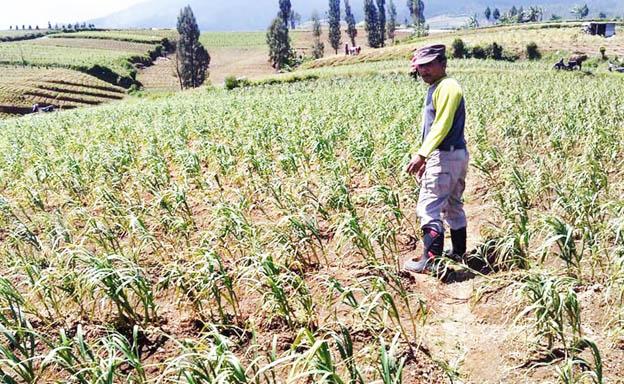 Produksi bawang putih.